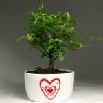 Купить семена, растение – Японский перец (Zanthoxylum)
