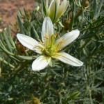 Купить семена, растение – Гармала (Peganum harmala)