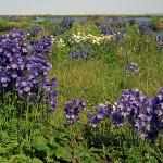 Купить семена, растение – Синюха голубая (Polemonium caeruleum)
