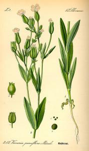 Купить семена, растение – Тысячеголов (Vaccaria hispanica)