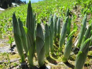 Купить семена, растение – Чемерица белая (Veratrum album)