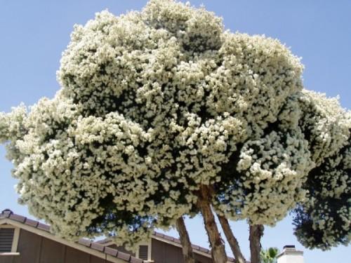 Купить семена, растение – Мелалеука (Melaleuca alternifolia)