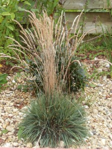 Купить семена, растение – Тонконог сизый (Koeleria glauca)