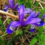 Купить семена, растение – Касатик русский (Iris ruthenica)