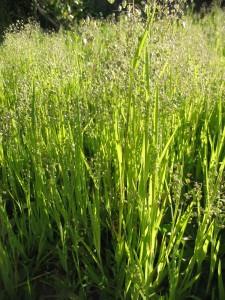 Купить семена, растение – Бриза малая (Briza minor)
