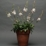 Купить семена, растение – Гаура Линдхеймера (Gaura lindheimeri)
