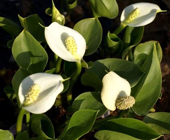 Купить семена, растение – Белокрыльник болотный (Calla palustris)