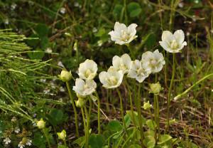 Купить семена, растение – Белозор болотный (Parnassia palustris)