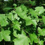 Купить семена, растение – Клен гирканский (Acer hyrcanum)