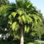 Купить семена, растение – Брахея съедобная (Brahea edulis)