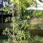 Купить семена, растение – Гарциния (Garcinia schomburgkiana)