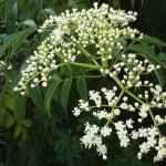 Купить семена, растение – Ниим (Azadirachta indica)