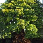 Купить семена, растение – Курупита гвианская (Couroupita guianensis)
