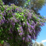 Купить семена, растение – Дуранта прямостоячая (Duranta erecta)