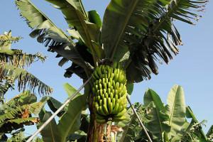 Купить семена, растение – Банан дарджилингский (Musa sikkimensis)