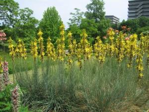 Купить семена, растение – Асфоделина желтая (Asphodeline lutea)