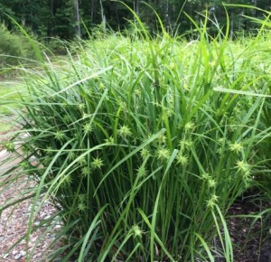 Купить семена, растение – Осока Грея (Carex grayi)