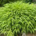 Купить семена, растение – Хаконехлоя Beni kaze (Hakonecloa Beni Kaze)