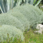 Купить семена, растение – Сантолина кипарисовидная (Santolina chamaecyparissus)