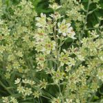 Купить семена, растение – Зигаденус изящный (Zigadenus elegans)