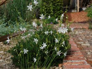 Купить семена, растение – Венечник ветвистый (Anthericum ramosum)