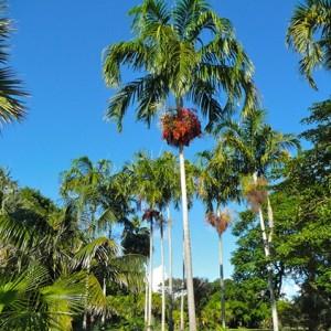 Купить семена, растение – Карпентерия заостренная (Carpentaria acuminata)