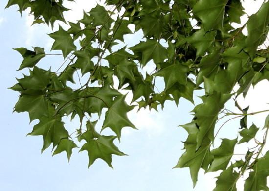 Купить семена, растение – Клен светлый (Acer laetum)