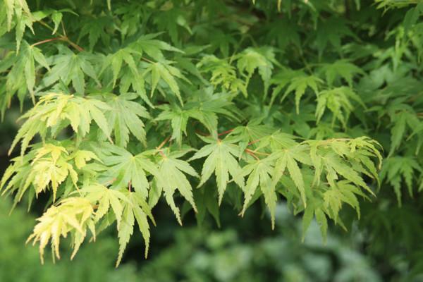 Купить семена, растение – Клен дланевидный (Acer palmatum)