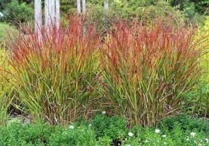 Купить семена, растение – Просо гигантское Squaw (Panicum virgatum)