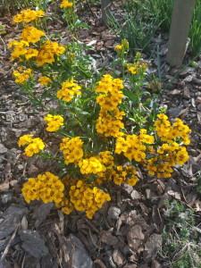 Купить семена, растение – Мексиканский эстрагон (Тagetes lucida)