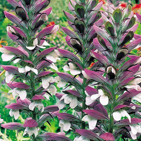 Купить семена, растение – Акант мягкий (Acanthus mollis)