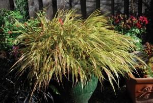 Купить семена, растение – Хаконехлоя Aureola (Hakonecloa Aureola)