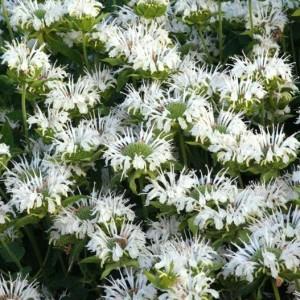 Купить семена, растение – Монарда Шнивитхен (Monarda Schneewittchen)