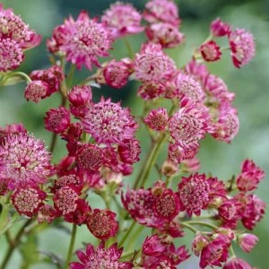 Купить семена, растение – Астранция Lars (Astrantia major Lars)
