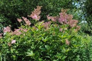 Купить семена, растение – Лабазник красный (Filipendula rubra)