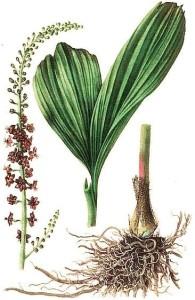 Купить семена, растение – Чемерица черная (Veratrum nigrum)