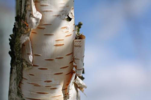 Купить семена, растение – Береза бумажная (Betula papyrifera)