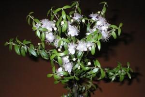 Купить семена, растение – Мирт обыкновенный (Myrtus communis)