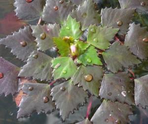 Купить семена, растение – Чилим вырезной (Trapa incisa)