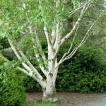 Купить семена, растение – Береза полезная (Betula utilis)