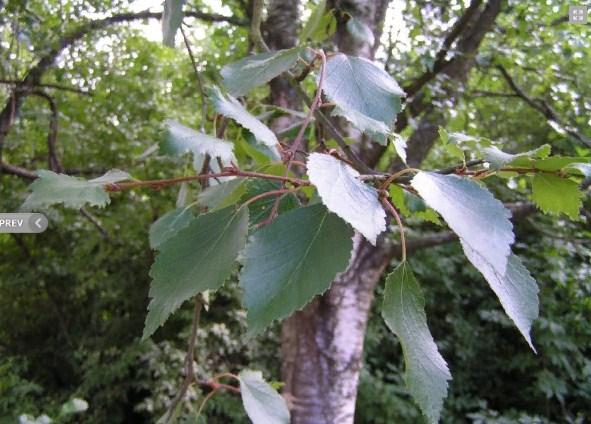 Купить семена, растение – Береза Кузмищева (Betula kusmisscheffii)