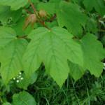 Купить семена, растение – Клен ложноплатановый (Acer pseudoplatanus)