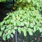 Купить семена, растение – Клен виноградолистный (Acer cissifolium)