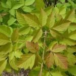 Купить семена, растение – Клен Генри (Acer henryi)