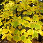 Купить семена, растение – Клен пенсильванский (Acer pensylvanicum)