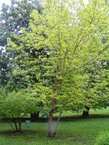 Купить семена, растение – Клен ясенелистный (Acer negundo)