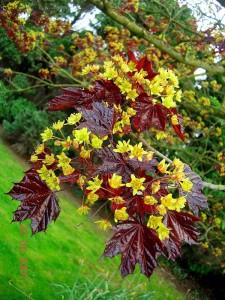 Купить семена, растение – Клен Роял Ред (Acer platanoides Royal Red)