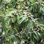 Купить семена, растение – Дуб мирзинолистный (Quercus myrsinifolia)