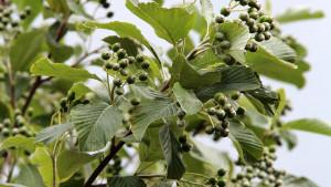 Купить семена, растение – Рябина ария (Sorbus aria)