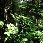 Купить семена, растение – Менцизия волосистая (Menziesia pilosa)